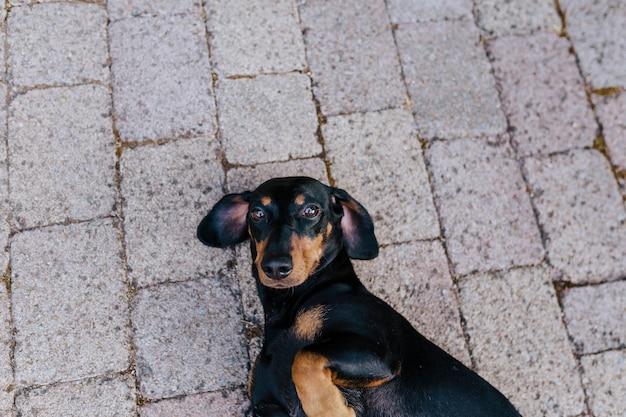 Cão de salsicha pequeno bonito deitado no chão fora da casa e descansando. animais de estimação ao ar livre