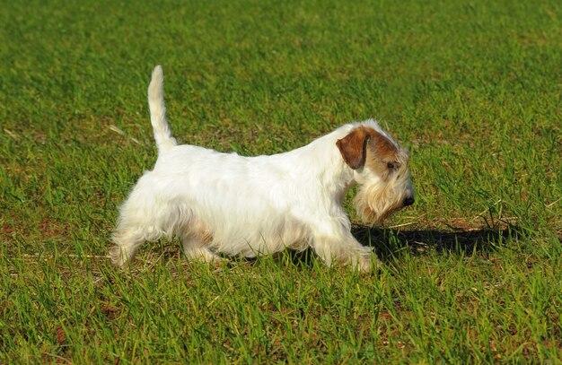 Cão de sealyham terrier