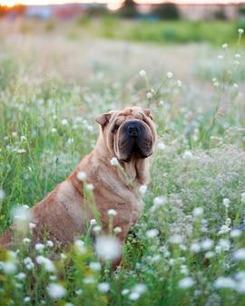 Cão de sharpei no campo florido