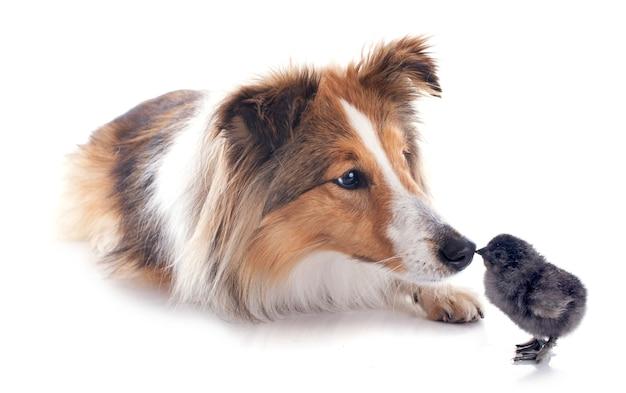 Cão de shetland e chick