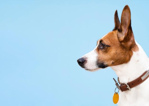 Cão de vista lateral com orelhas picadas, olhando para longe