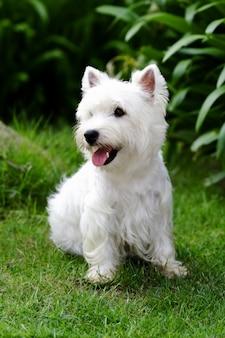 Cão de westie na grama verde