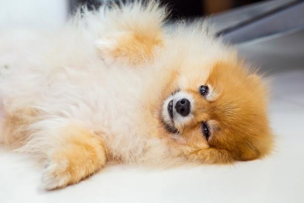 Cão deitado no chão branco no quarto de hotel de luxo