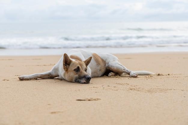 Cão desabrigado na praia de areia marrom. cão desabrigado relaxante na praia tropical areia marrom.