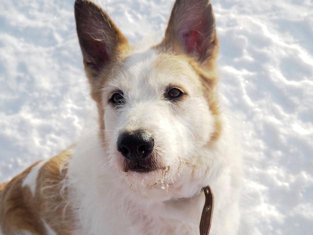 Cão desabrigado ruivo, cachorro de rua, gentil e fiel