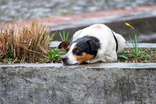 Cão desabrigado solitário e triste, deitado na rua