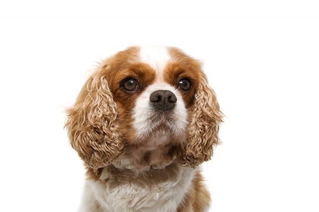Cão descuidado do retrato com as orelhas grandes isoladas no branco
