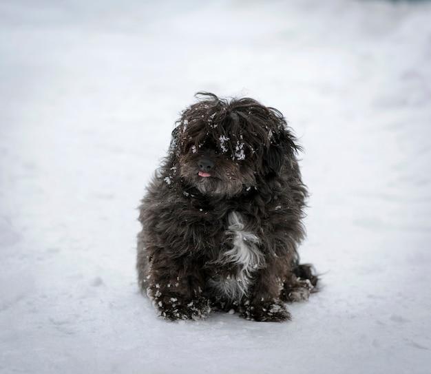 Cão desgrenhado preto senta-se na neve