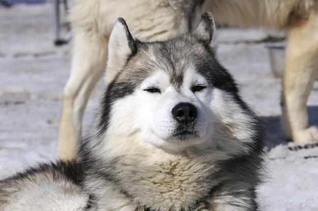 Cão desportivo está descansando na neve