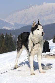 Cão desportivo na neve está esperando a corrida