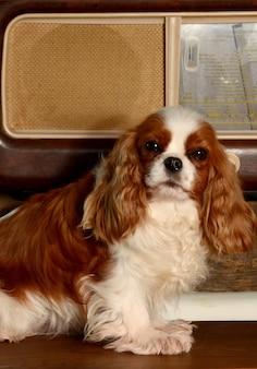 Cão do rei descuidado perto de um rádio antigo.