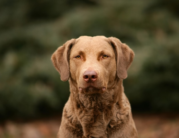 Cão do retriever de baía de chesapeake na floresta.