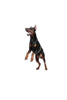 Cão doberman isolado no fundo branco no estúdio. o conceito de animal doméstico