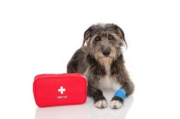 Cão doente. filhote de cachorro de sheepdog que encontra-se com uma bandagem azul ou uma faixa elástica