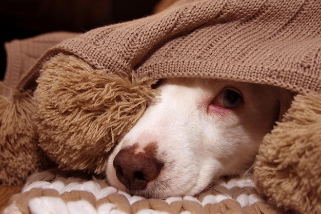 Cão doente ou com scared coberto com um cobertor de aço tassel