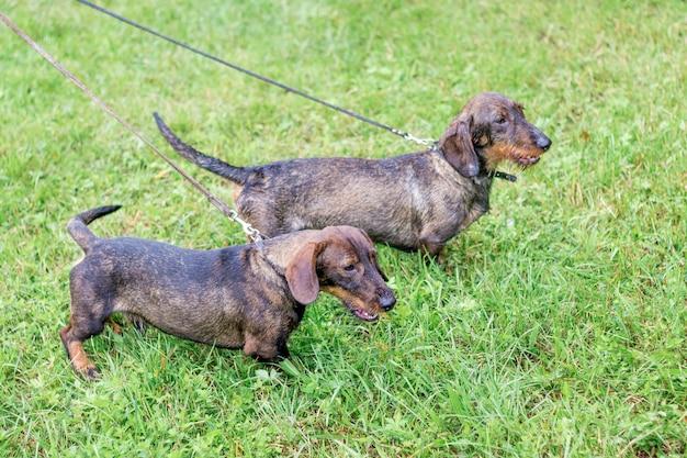 Cão dois da raça bassê na trela durante uma caminhada em tempo chuvoso