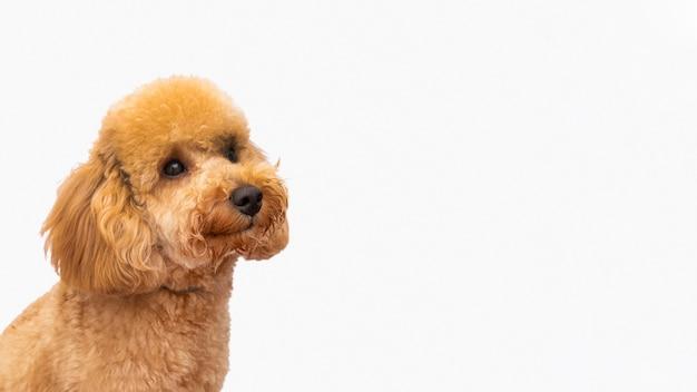 Cão doméstico de cópia-espaço