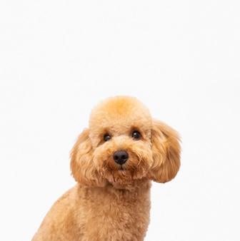 Cão doméstico de frente