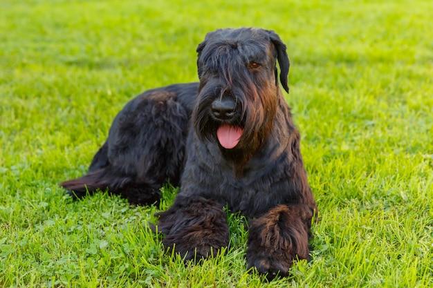 Cão doméstico preto schnauzer gigante raça