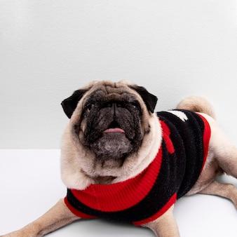 Cão doméstico vestindo roupas de frente