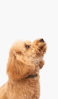 Cão doméstico vista lateral