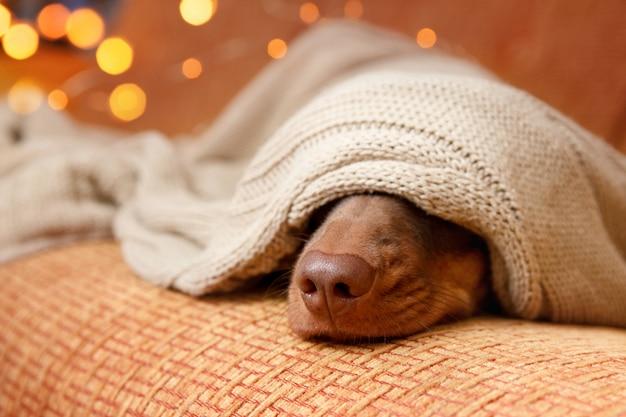 Cão dorme debaixo do cobertor perto da luz de natal. fechar-se. conceito de inverno