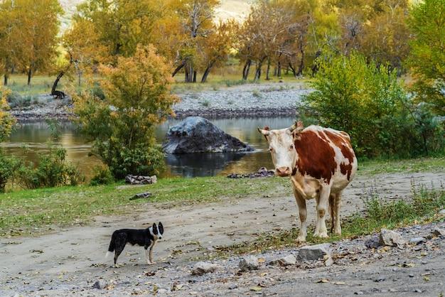 Cão e vaca estão parados na margem do rio, no desfiladeiro da montanha de outono. rússia, altai, rio chulyshman