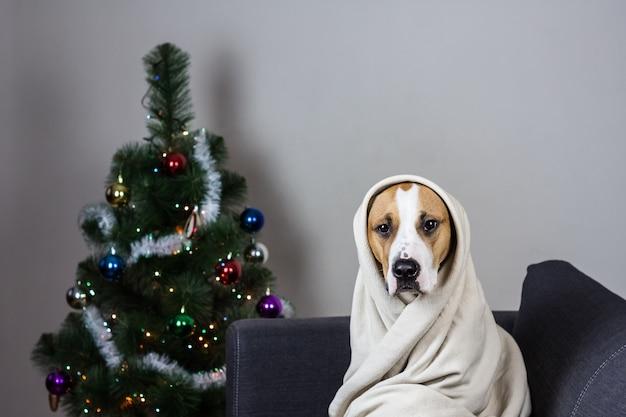 Cão em jogar cobertor retrato na frente da árvore de natal decorada