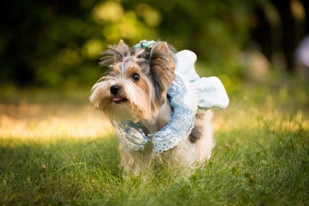 Cão em roupas elegantes.