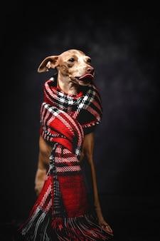 Cão engraçado com lenço xadrez vermelho