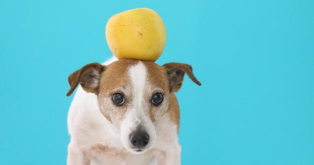 Cão engraçado com maçã amarela