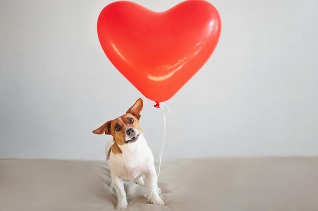 Cão engraçado de jack russell com balões do coração. conceito de dia dos namorados.