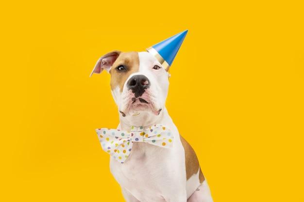 Cão engraçado de staffordshire americano comemorando aniversário, ano novo ou carnaval. isolado em backgorund amarelo