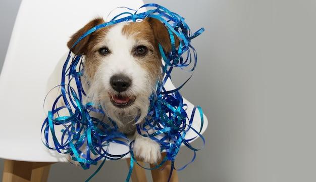 Cão engraçado que comemora o ano novo, o aniversário ou o canival com as serpentinas azuis que sentam-se em uma cadeira branca escandinava.