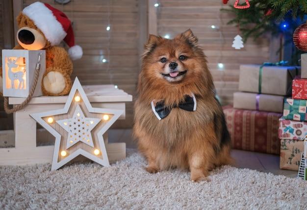 Cão engraçado spitz alemão em uma gravata borboleta perto da árvore de natal. conceito de natal e ano novo