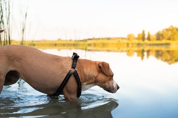 Cão esfria em um pântano em um dia quente de verão. animais de estimação que adoram água, nadam na lagoa e praticam atividades aquáticas