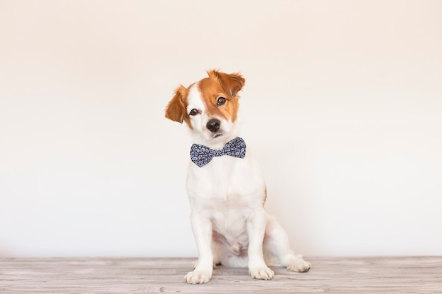 Cão esperto bonito com gravata borboleta
