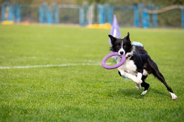 Cão esportivo se apresentando durante a isca percorrendo a competição