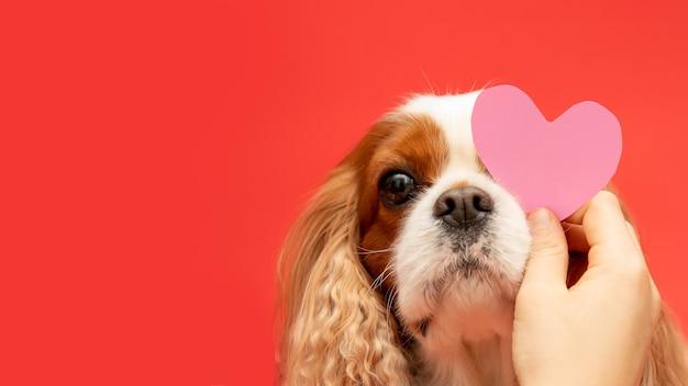 Cão favorito recebe cartão de avalentina em forma de coração de papel rosa
