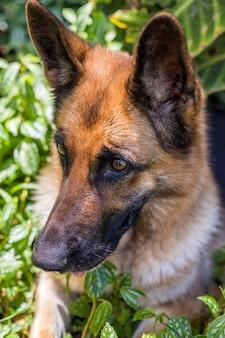 Cão feliz brincando, cão pastor alemão, isolado