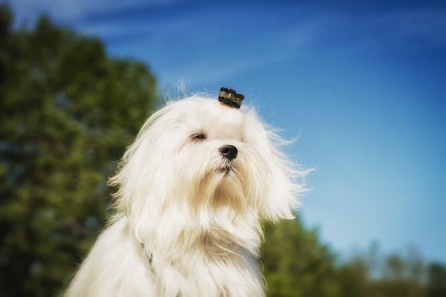 Cão feliz correndo. close-up de um cão maltês branco. um filhote de cachorro bonito feminino.