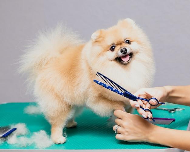 Cão feliz e fofo da pomerânia sendo preparado no salão