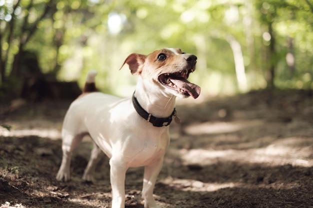 Cão feliz, jack russell com jogando na floresta
