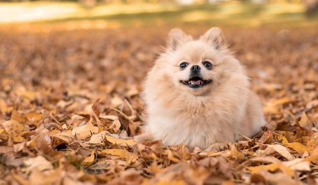 Cão feliz nas folhas amarelas no outono no parque.