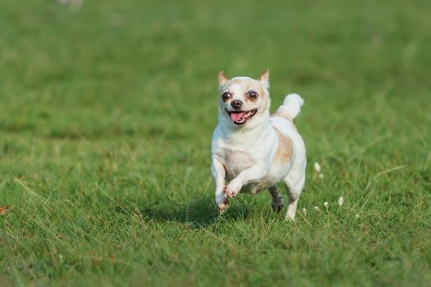 Cão feliz se divertindo em um campo, correndo no campo