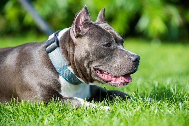 Cão feminino tigrado azul american staffordshire terrier ou amstaff close up na natureza