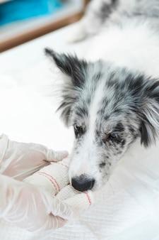 Cão ferido com branco enfaixado na sua pata e membro