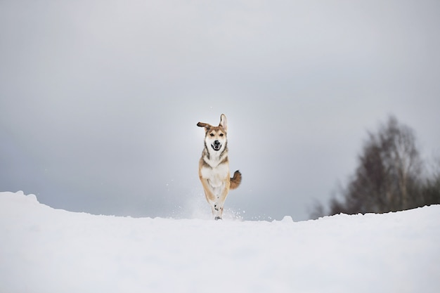 Cão fofo de raça misturada em cachorro de inverno nevado correndo e se divertindo na neve