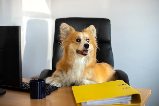 Cão fofo e engraçado corgi sentado em uma cadeira e trabalhando em um computador no escritório em sua mesa