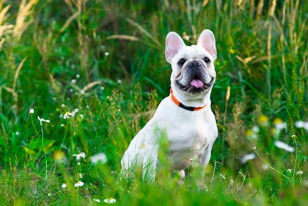 Cão fofo e feliz, raça de buldogue francês sentado no parque, animal de estimação sorrindo em uma caminhada no verão